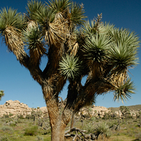 joshuatree-in.jpg