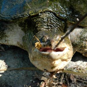 turtleeatshotdog-in.jpg